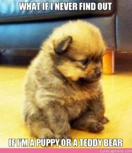 puppy:teddy